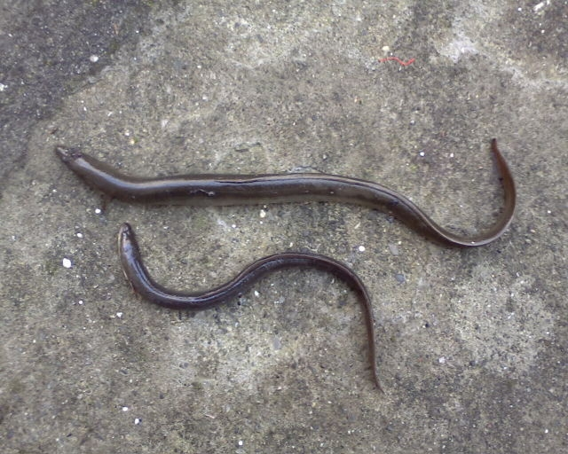 Affronti pacchi da anguille di reddenings